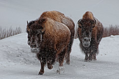 Treacherous (dbushue) Tags: winter snow cold buffalo wildlife yellowstonenationalpark bison survival bitter harsh ynp 2011 treacherous coth supershot specanimal specanimalphotooftheday damniwishidtakenthat fantasticwildlife coth5 dailynaturetnc11 photocontesttnc12 photoofthedaynwf12