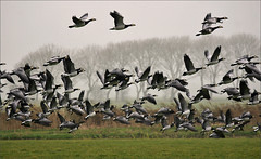 Swarm of Barnacle Geese (Foto Martien (thanks for over 2.000.000 views)) Tags: autumn mist holland bird fall netherlands dutch fog nationalpark nevel herfst nederland goose gans groningen oiseau friesland barnaclegoose brantaleucopsis vogel niederlande lauwersmeer frysln najaar nationaalpark brandgans thegalaxy bernachenonnette nonnengans hvitkinngs berniklabiaolica vitkindadgs a550 bramgs barnaclacariblanca gansodefacesbrancas weiswangengans lauwersmar martienuiterweerd bestcapturesaoi martienarnhem  sony70300gssmlens sonyalpha550 mygearandme mygearandmepremium mygearandmebronze mygearandmesilver mygearandmegold mygearandmeplatinum mygearandmediamond fotomartien grinsln