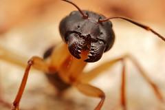sugar ant (FISHNROBO) Tags: light black colour macro green nature animal closeup insect newcastle fun bush flickr close natural native wildlife australia insects cannon robo fishnrobo