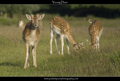 Young Deer (Paul Simpson Photography) Tags: summer sunshine animals deer fawn flies fallowdeer normanbyhall normanbypark june2008 grassfood photosofdeer paulsimpsonphotography photosofnormanby photosofdeereating