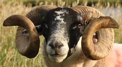 Ram (jzzyj) Tags: animal sheep horns curly ram curlywurly