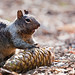 Squirrel at Mariposa Grove