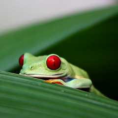 Red eye ( Costa Rica icon ) (Z Eduardo...) Tags: red green nature animal rainforest costarica frog redeye rana centralamerica agalychniscallidryas ojosrojos redeyetreefrog flickraward flickraward5 flickrawardgallery