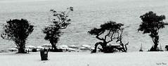 rvores (Camila Thiers) Tags: brazil white black branco brasil do preto santarm cho alter par rvores