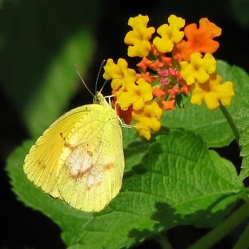 12 Days of Christmas Butterflies - #2 Sleepy Orange