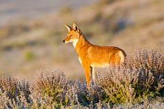 Ethiopian Wolf (Will Burrard-Lucas   Wildlife) Tags: wolf wildlife ethiopia ethiopianwolf