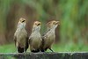 Guira Cuckoo (Guira guira) (PeterQQ2009) Tags: brazil birds guiraguira guiracuckoo