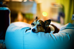 Warm Inside (moaan) Tags: leica dog comfortable digital relax 50mm cozy corgi dof bokeh halo indoor f10 sleepy utata noctilux welshcorgi cushion m9 2011 coldoutside pochiko leicanoctilux50mmf10 leicam9