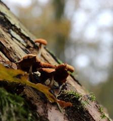 (Evelien Gerrits) Tags: autumn holland macro tree fall mushroom canon forrest herfst nederland boom paddenstoel bos noordbrabant olland boxtel digitalmacro liempde degeelders eveliengerrits