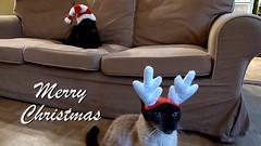 MIN_Week 86 Christmas Cats_Merry (luciwest) Tags: santa christmas cats antlers feliznatal merrychristmas santahat greeting videostill feliznavidad buonnatale nadoligllawen froheweihnachten godjul joyeuxnol bonnadal gldeligjul wesoychwit veselvnoce  boldogkarcsonyt nollaigshona sretanboi   mutlunoeller oneminutevideo veselvianoce  crciunfericit veselboi  jwayenowl l