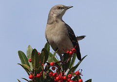 Mockingbird (NatureShutterbug) Tags: aves northernmockingbird mimuspolyglottos animalia passeriformes mimus chordata mimidae moqueurpolyglotte taxonomy:order=passeriformes taxonomy:class=aves taxonomy:kingdom=animalia taxonomy:phylum=chordata taxonomy:family=mimidae taxonomy:genus=mimus taxonomy:binomial=mimuspolyglottos taxonomy:common=northernmockingbird taxonomy:species=polyglottos taxonomy:common=moqueurpolyglotte centzontlenorteo taxonomy:common=centzontlenorteo