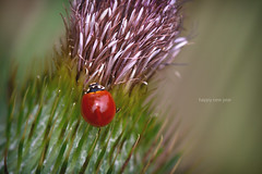 Happy new year (Edi Eco) Tags: new macro nature beautiful rio canon bug insect happy grande do year 100mm 7d ladybug usm wish f28 ef sul 2012 joaninha 2011 barao ef100mm erechim cotegipe