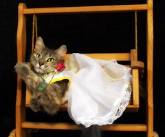 Waiting... (KrazyBoutCats) Tags: cats pets animals rose kittens swing felines nella woodenswing