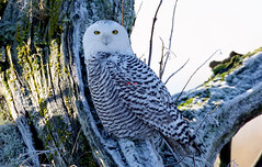 Snowy owl  6Z2K8886-1 (ABERLIN2009 ~ Catch up soon.. ~) Tags: canada vancouver delta snowyowl canon800mm happy2012
