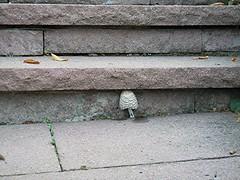 Schopftintling - Coprinus comatus auf Treppenaufgang, NGIDn16180509 (naturgucker.de) Tags: deutschland coprinuscomatus schopftintling badenwrttemberg naturguckerde chorstschlter ngidn16180509 tk25blatt71214