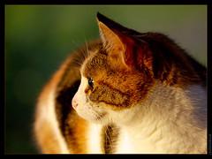 Yuca (Orpinbleu) Tags: portrait france canon soleil chat flickr photos corse images oeil roux tricolore flickrduel canoneos5od orpinbleu emilienneparrotbousquet orpinbleuflickrcom