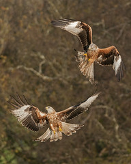 Panic ! ... EXPLORED (Gareth Scanlon) Tags: uk red brown mountain kite black milan green bird nature wales ed rouge nikon carmarthenshire action bokeh flight attack beak feather 300mm talon if prey nikkor brecon beacons stoop gareth scanlon f4 royale afs behaviour milvus milvusmilvus wilflife asault rotmilan brynamman d300s garethscanlon