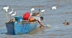 Friends in Need (NigelDurrant) Tags: ocean sea fish bird southamerica water birds boat flying fishing flight gear shrimp vessel pelican guyana worker fishingboat egret artisanal
