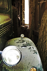 In Hiding (Steve Taylor (Photography)) Tags: park old newzealand christchurch classic dusty car vintage bedford zoo automobile wildlife garage shed reserve canterbury dirty hidden nz southisland headlight hiding willowbank