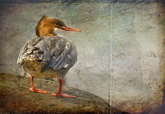 Goosander (Master Pedda http://petersamuelsson.se/) Tags: texture birds sweden structure mergusmerganser halland goosander storskrake thegalaxy swedenen mygearandme ringexcellence