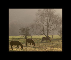 Pastoral winter (izzy's-photos) Tags: winter horses horse tree backlight row threeinarow corscaron familyjoke tregaronbog blinkagain bestofblinkwinners noseos notaverygoodrow