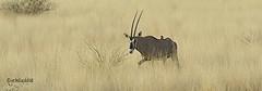 Oryx, red Bird (jensaddis) Tags: africa game bird animals tiere wildlife afrika ethiopia gazelle acacia antilope oryx wildpark äthiopien awash grasland wildtiere gazell awashnationalpark oryxbeisa nikond700 aethiopien nikon2xiii nikonafs70200 illalsahaplains soemmering