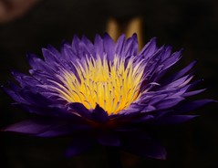 Water Lily (Explored!) (j man ) Tags: life birthday lighting flowers friends light man black flower macro art nature water floral colors beautiful field yellow gardens closeup bronze lens happy photography j petals cool colorful flickr dof lily purple blossom background sony details group favorites center missouri views trophy 60mm tamron depth comments a300 botcanical mygearandme