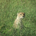 "Cheetah in the Grass <a style=""margin-left:10px; font-size:0.8em;"" href=""http://www.flickr.com/photos/14315427@N00/6741611197/"" target=""_blank"">@flickr</a>"
