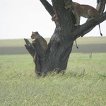 "Lions in a Tree <a style=""margin-left:10px; font-size:0.8em;"" href=""http://www.flickr.com/photos/14315427@N00/6741624569/"" target=""_blank"">@flickr</a>"