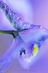 Purple  Show (Salwa Afef) Tags: blue flower macro nature floral petals flora purple stamen delphinium pistils floralfantasy purpleblueflower floralessence persephonesgarden