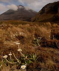 Mount Doom (kattabrained) Tags: ngarahoe mtdoom celmisiaincana