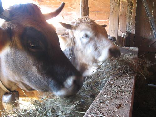 Vacas en su establo