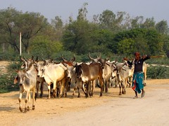 Cattle Herd, Dasada (Shreeram Ghaisas) Tags: birds kutch dasada rann littlerann gujarath