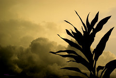 Stand Alone (Haryth Hayqal) Tags: shadow sky cloud sun plant tree nature sephia sillhouette