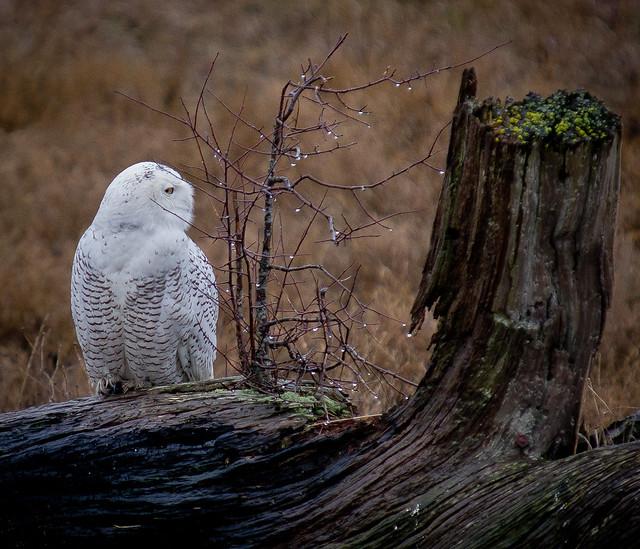 SNOWY OWL-14