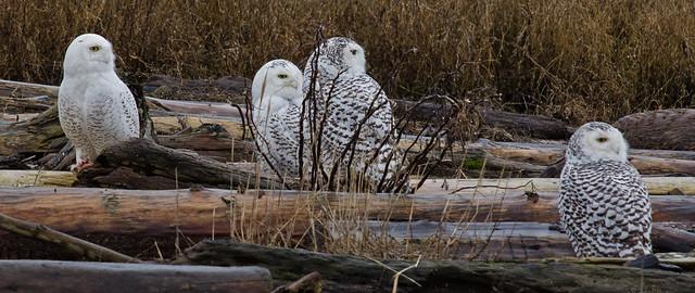 SNOWY OWL-15