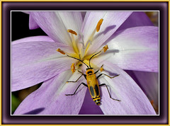 The Soldier Beetle And The Purple Flower (vidterry) Tags: soldierbeetle 2xteleconverter nikkor105mmmicro nikond300 flickrstruereflection1