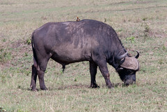 Kenya-September 10, 2011-15.jpg (bladerider954) Tags: kenya september masaimara 2011 africanbuffalo