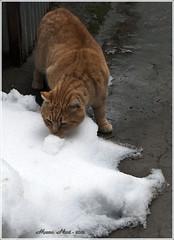 IL MIO ''PEPE'' STA FACENDO CONOSCENZA CON QUELLA ... ''COSA BIANCA'' (mauro855) Tags: italia neve siena pepe toscana gatto 2012 valdichiana nikond60 torritadisiena mauronizzi