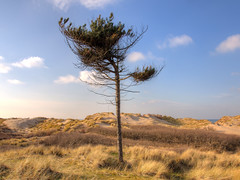 Formby Sand Dunes & Lone Pine Tree (Barry Lloyd) Tags: tree pine pen sand woods dune olympus system compact formby mtf epl1