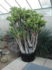 CIMG4874 (Maico Weites) Tags: uk england kewgardens plant london kew gardens december jadeplant 28 crassulaceae engeland crassula londen vk ovata 2011 crassulaovata