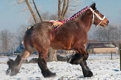 DSC_3259 (Ton van der Weerden) Tags: horses horse dutch de cheval belgian van der nederlands belges draft chevaux belgisch trait heijden trekpaard trekpaarden zijtaart hengstenandrevanderheijdenzijtaartudovandezaaidijk