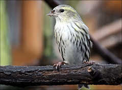 Siskin female (Judy's Wildlife Garden) Tags: siskinfemale judykennett knightonpowys