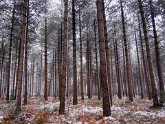 Vertical Snowy Pines (GarethThomasJones) Tags: camera uk photoshop canon photography landscapes photographer ixus beaches pro pointandshoot gtj compact lightroom garethjones 100is sd780 canonsd780 lightroom4 garethjonesphotographyportsmouth garethjonesportsmouth gareththomasjones