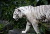 IMG_2641 (Marc Aurel) Tags: zoo singapore tiger tigre singapur whitetiger zoologischergarten singaporezoo weddingtrip hochzeitsreise bengaltiger pantheratigris zoologicalgarden königstiger pantheratigristigris royalbengaltiger pantheratigrisbengalensis weisertiger 5dmarkii eos5dmarkii indischertiger tigrebiancha