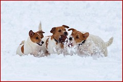 ...wanna play...? (zio paperino) Tags: schnee winter italy dog pets white snow rome roma cute dogs animals puppy jack fun nikon jrt italia russell hiver nieve terrier jackrussell neve ces perros invierno neige hunde chiens cani d90 ziopaperino mygearandme mygearandmepremium mygearandmebronze mygearandmesilver mygearandmegold