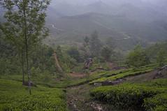 Tea Plantations in Munnar (Aleksandr Zykov) Tags: india tea kerala munnar teaplantations