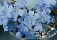 Plumbago (Luv my D40 - now my D7000!) Tags: blue flower water rain catchycolors nikon drop dew 60mm plumbago lightroom d40 f28d