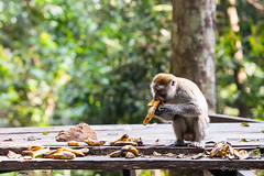 Crab-Eating Macaque 4598 (Ursula in Aus) Tags: animal sumatra indonesia unesco bukitlawang longtailedmacaque crabeatingmacaque macacafascicularis gunungleusernationalpark earthasia