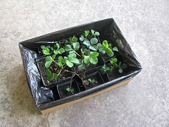 Strawberries! (Librarianguish) Tags: food plants garden growing 414